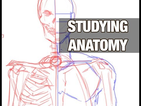 studying anatomy for artists