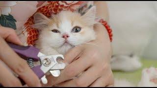 Download 【花花与三猫】小猫拒绝剪指甲,铲屎官不仅唱歌还拿小鱼干哄,大猫:我也该剪了! Video