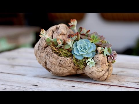 How to Plant Succulents on Driftwood (without soil)