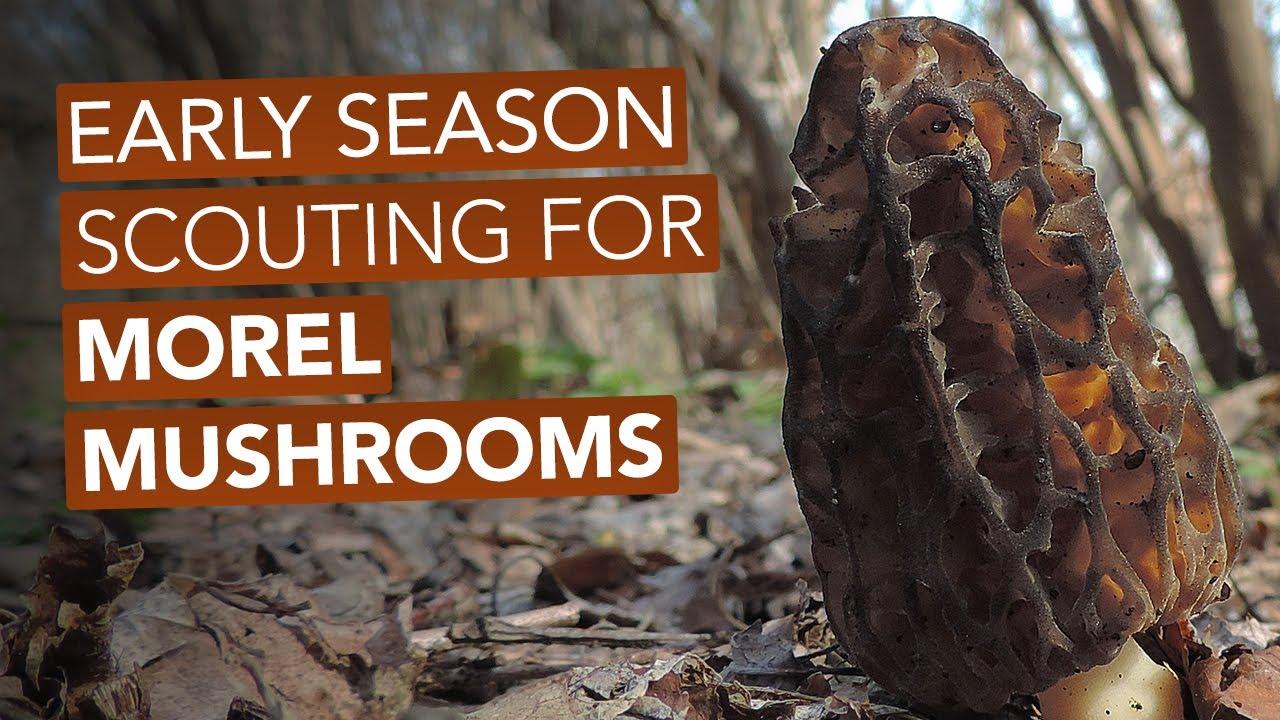 Early Season Scouting For Morel Mushrooms