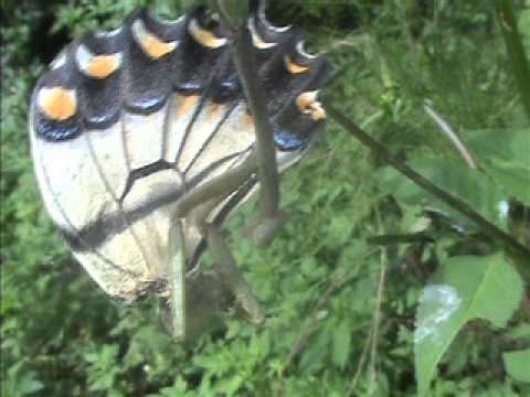 Praying mantis eats a Tiger Swallowtail butterfly
