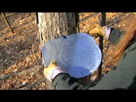 How to Make Maple Syrup and Sugar