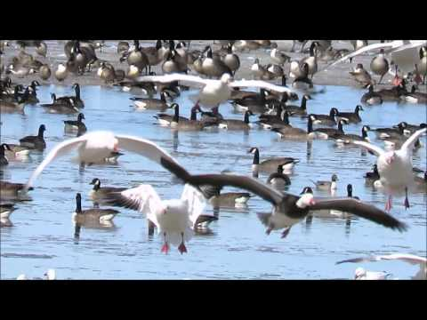Snow Geese and Canada Geese - Cobbs Lake Creek, Prescott and Russell County, Ontario
