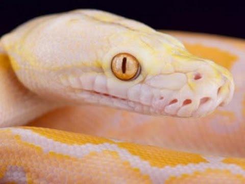 Giant Colorful Snakes! SnakeBytesTV