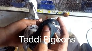 Teddy kabooter ki pehchan - teddi Pigeons in Pakistan - world best high flying pigeoins by Raja