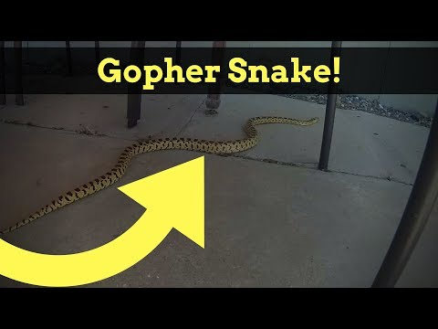 Bearded Dragon Owners // Wild Gopher Snake.
