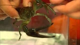Straying Far From Home, Invasive Crayfish Threatens U.S. Waterways