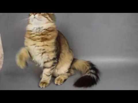 Siberian kitten Ul'kan, age 4,5 months