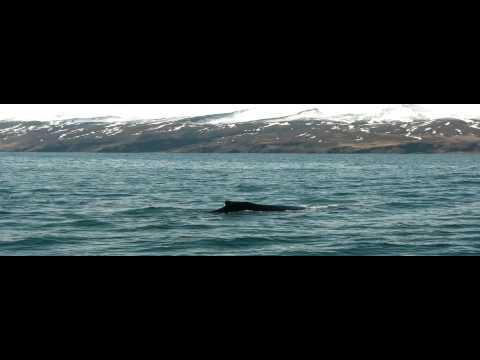 Whale Watching in Húsavík, Iceland (HD)