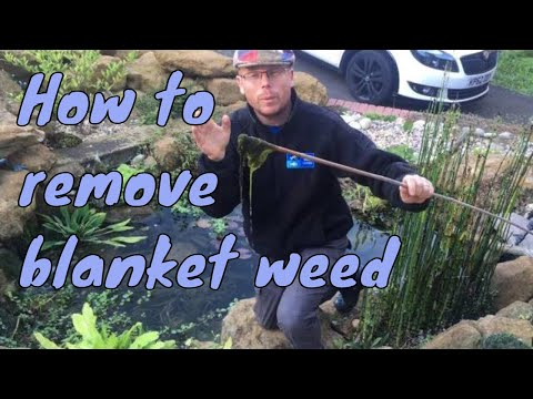 How to remove blanket weed out of a garden pond.