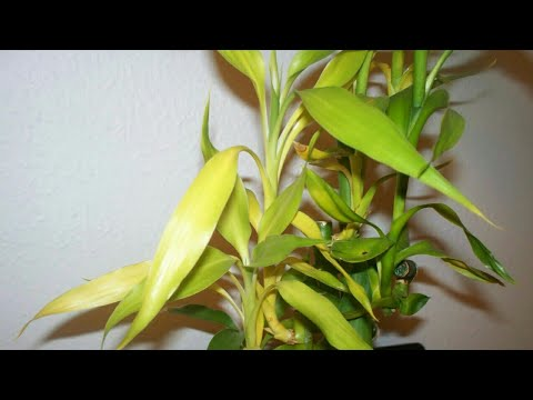 Lucky bamboo plant leaves turning yellow