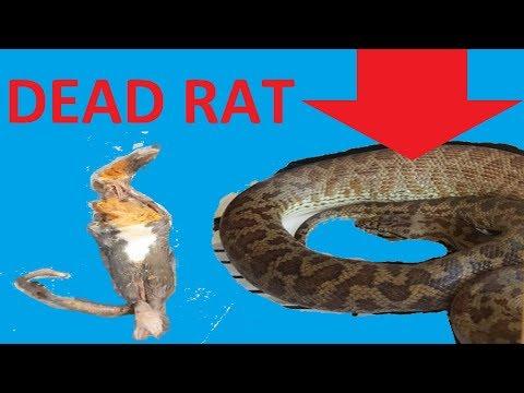 SNAKE ATE MY PET RAT!