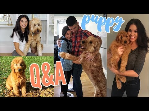 PUPPY Q&A! MY GOLDENDOODLE DUDE! HOW TO TRAIN YOUR DOG & OTHER THINGS I'VE LEARNED!