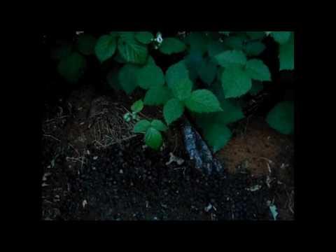 Blackberries - How We Fertilize in the Spring
