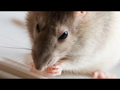 How to Groom a Rat   Pet Rats