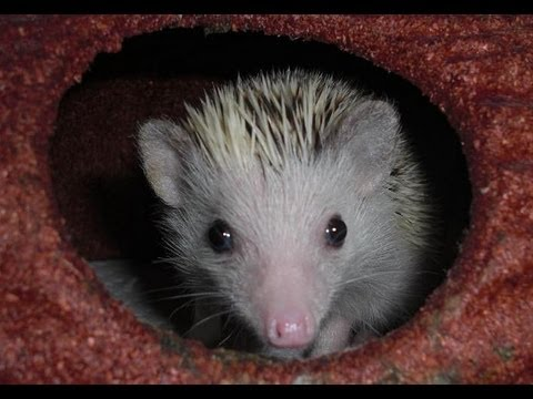 How to Breed Hedgehogs