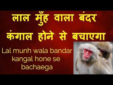 feed to monkey#बन्दर को गुड़ और चना खिलाना#Bandar ka katna#लाल मुंह का बंदर