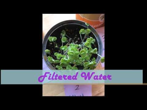 Basil Plants Project Video