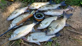White Bass Fly Fishing Madness!