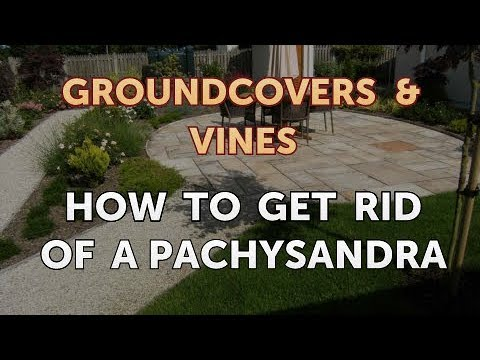 How to Get Rid of a Pachysandra
