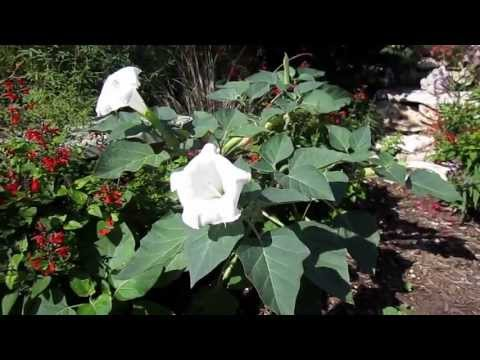 Moonflower Datura, Lisa's Landscape and Design's