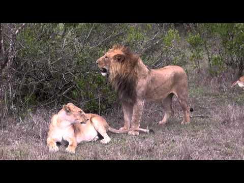 Xxx Mp4 Lions Prepare To Mate 3gp Sex