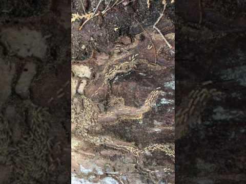 Termites under tree bark