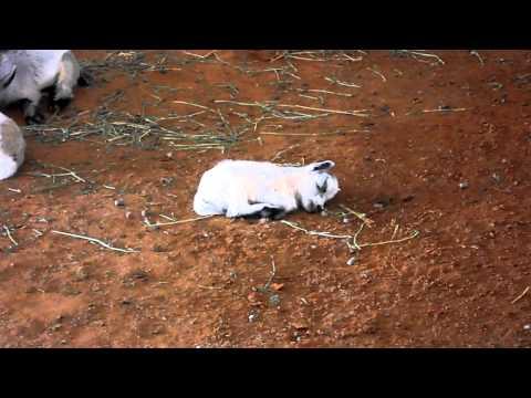 CUTE BABY GOATS SLEEPING & FEEDING