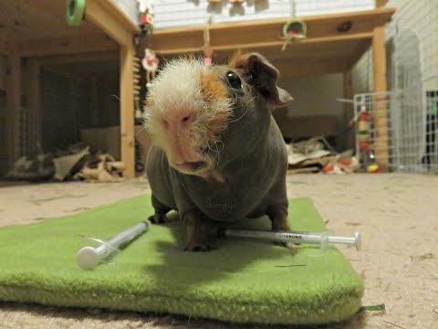 Neutering Little Foot The Skinny Pig