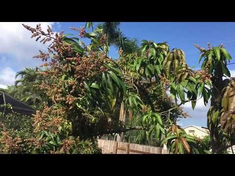 Pruning Mango Tree South Florida Update 2