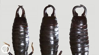 What Do Earwigs Do With Those Pincers Anyway?   Deep Look