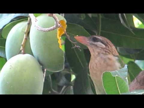 Bird eating Mango