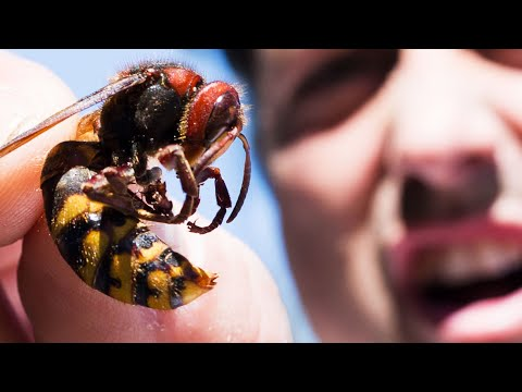 Giant Hornets Caught in Trap