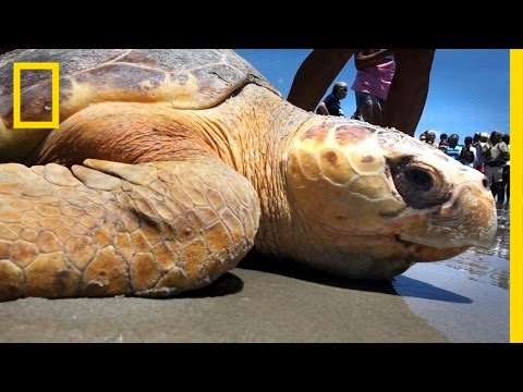 Crowds Cheer as Sea Turtles Return to the Sea | National Geographic