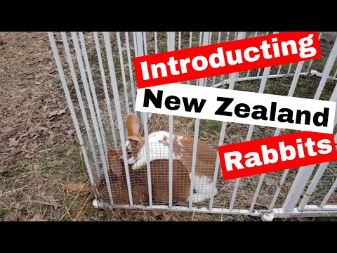 Introduction to our Red New Zealand Rabbits