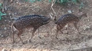 Funny animal mating spotted deer