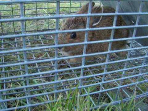 Outdoor Survival: A Rabbit In My HavaHart Trap