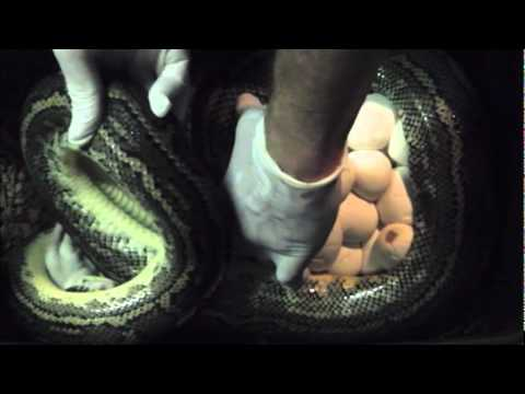 Removing Snake Eggs to Incubator