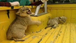 Cachorros de león se independizan