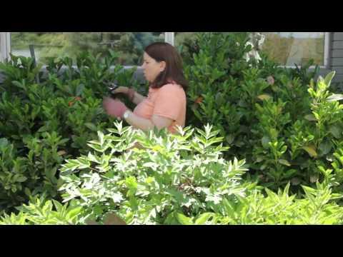 How to Prune an Overgrown Laurel
