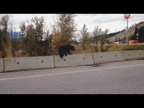 bear seen in golden bc canada on the side of the highway