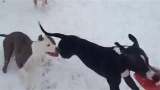 Pit bulls play tug a war