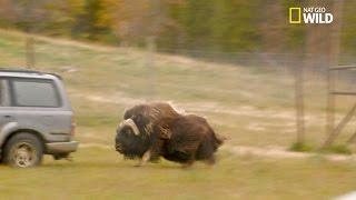 Le bœuf musqué, un animal très agressif