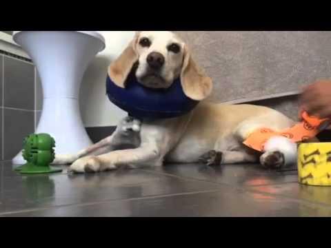 Sticky bone bandage change. Cooperative care.
