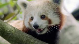 Red panda spotting at Auckland Zoo