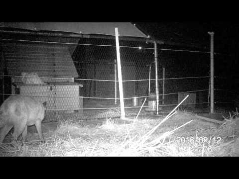 Fox checking out our chickens 12.02.16