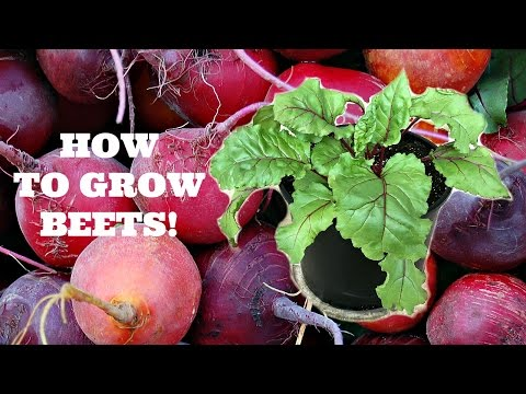How to Grow Beets from Seed!