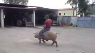 Cavalcando il porco