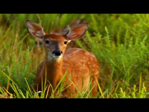 Deer mother and Fawns Born to be Wild