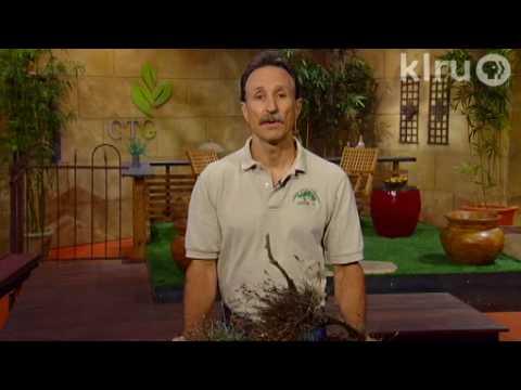Oak root sprouts & ball moss: Central Texas Gardener